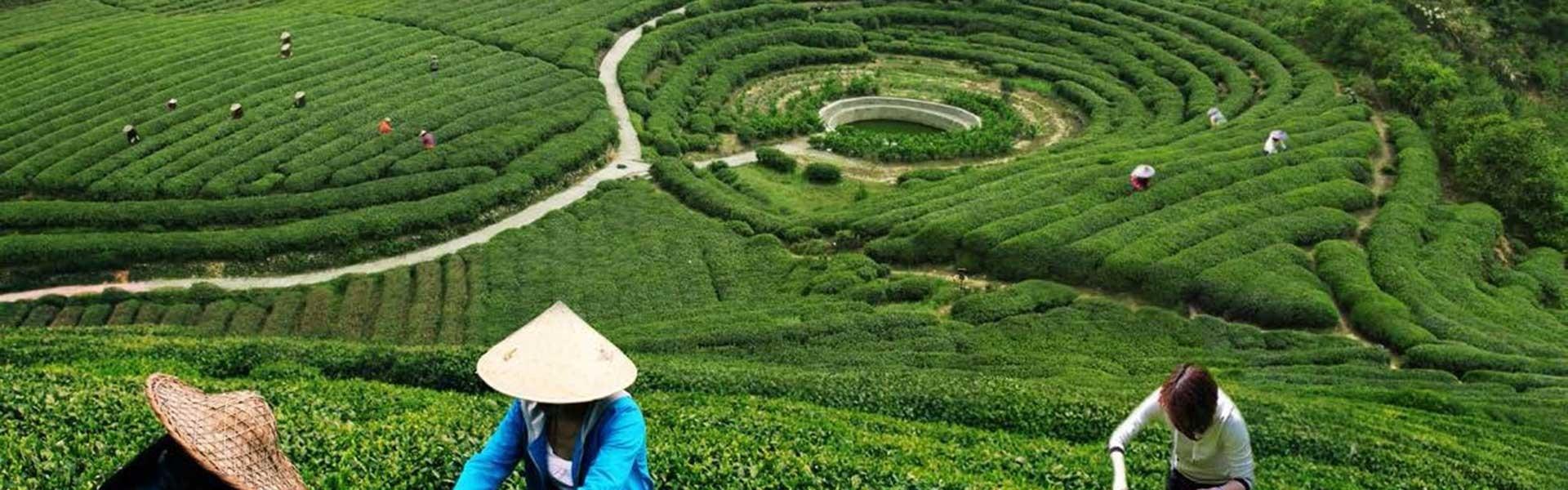 tea route