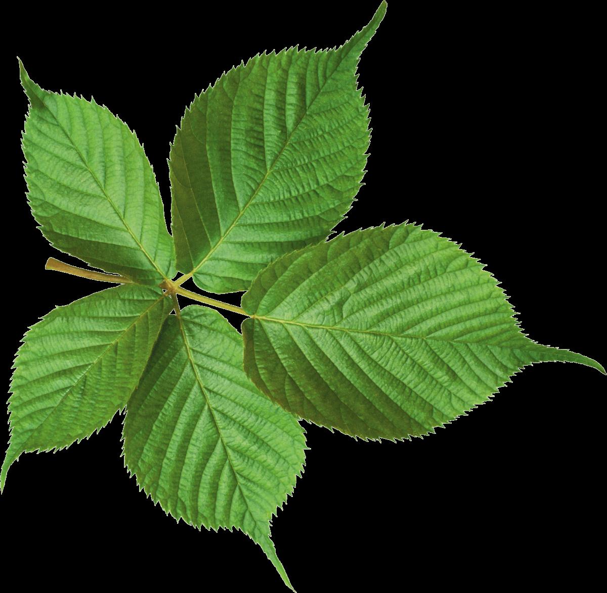 Φύλλα μουριάς