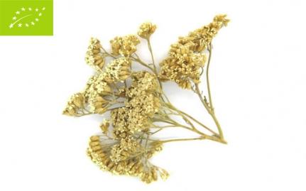 *Αχιλλέα, Achillea millefolium, bio