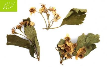 Κράταιγος, Crataegus monogyna, bio